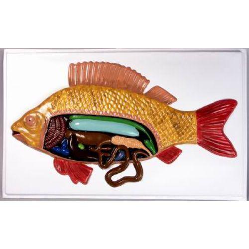 Барельефная модель Внутреннее строение рыбы