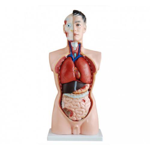Модель Торс человека 85 см 19 частей мужской