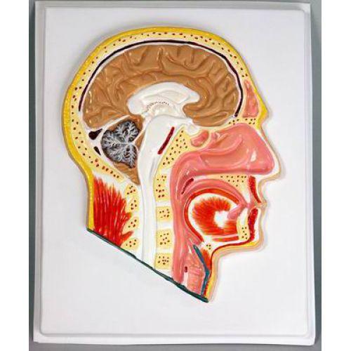 Барельефная модель Сагитальный разрез головы