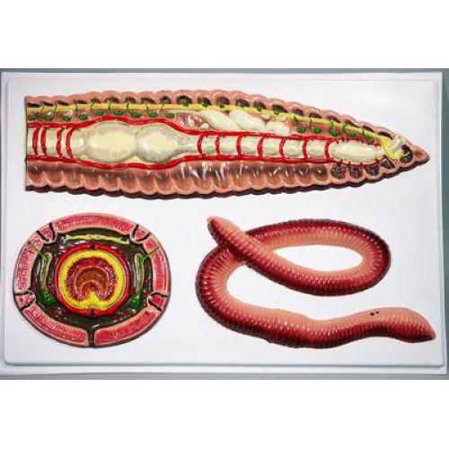 Барельефная модель Строение дождевого червя