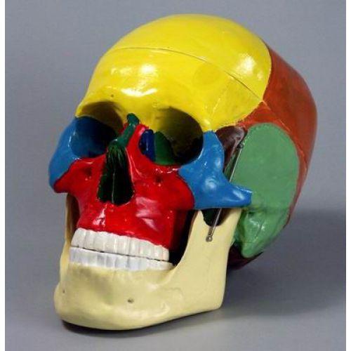 Модель Череп человека с раскрашенными костями