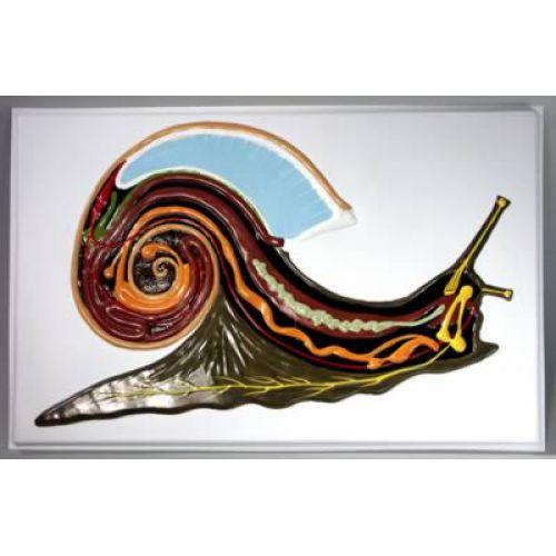 Барельефная модель Внутреннее строение брюхоногого моллюска
