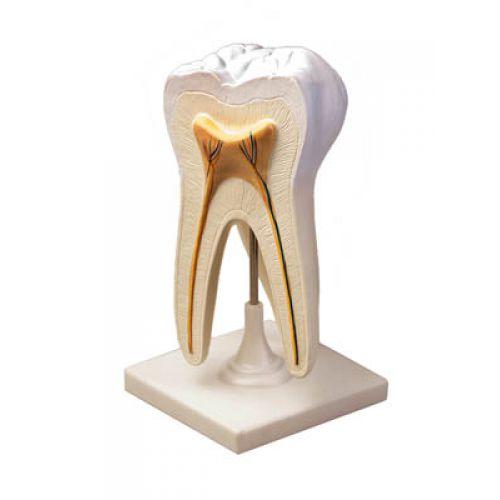Модель Строение зуба