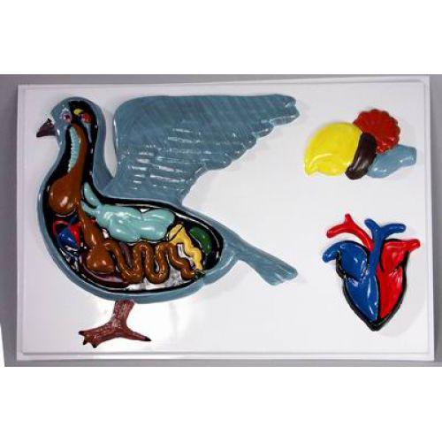 Барельефная модель Внутреннее строение голубя