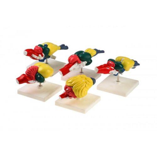Комплект моделей Строение мозга позвоночных (5 шт.)