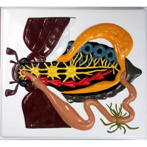 Барельефная модель Внутреннее строение жука