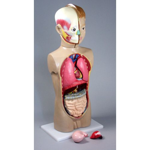 Модель Торс человека 65 см.