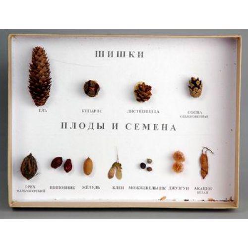 """Коллекция """"Шишки, плоды, семена деревьев и кустарников"""""""