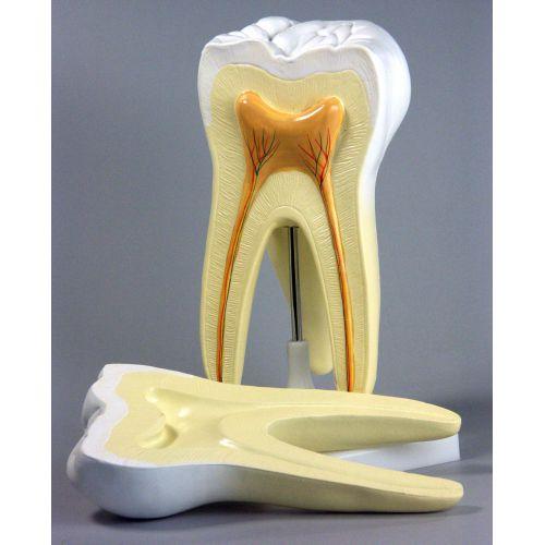 Модель Зубы